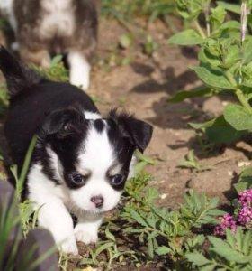 Шикарный щенок чихуахуа