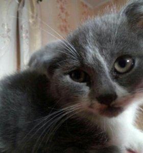 Веслоухий котёнок