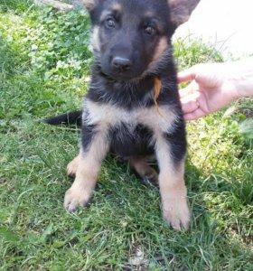 Продается щенок Немецкой овчарки