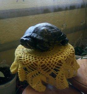 🐢 черепаха красноухая
