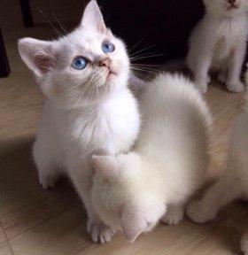 котята с лазурными глазками