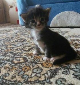 Котик Мейн кун