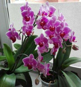 Орхидея с малышом