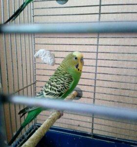 Продаю волнистые попугаи
