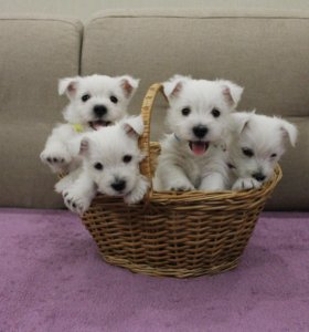 Куплю щенка маленькой породы не дорого