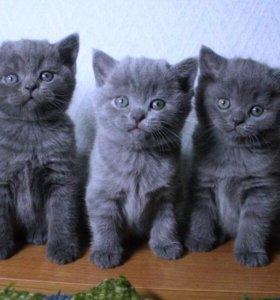 Кошки британчики 6 недель от роду в хорошие руки.