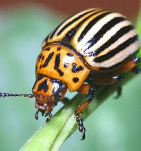 Обработка от колорадского жука