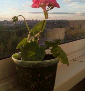 Комнатный цветок пеларгония (герань)
