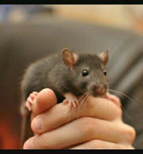 Продаю милых крысят