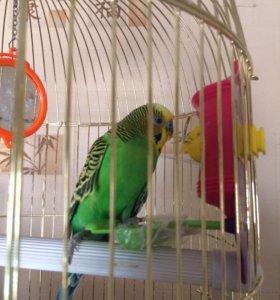 Продам попугая с клеткой и игрушками