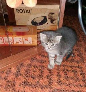 Кошка от вислоухой породы