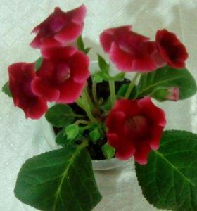 Красная глоксиния