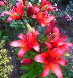 Лилия ( садовое растение)