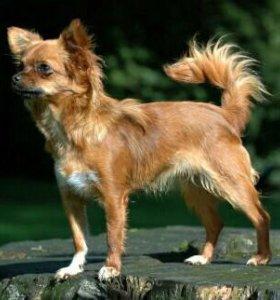 Продам  собаку чихуахуа