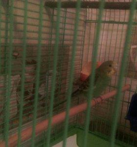 Срочно, волнистый попугайчик