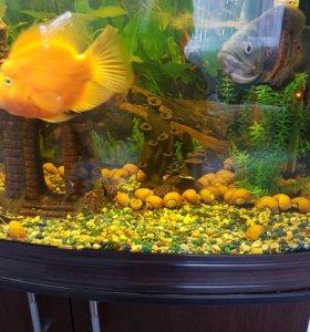 Желтые аквариумные улитки- ампулярии