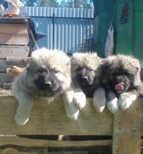 Продаю щенков кавказкой овчарки