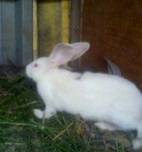 Кролики великани фландер