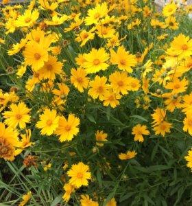 Цветы: Кореопсис, Гвоздика, Календула, Рудбекия