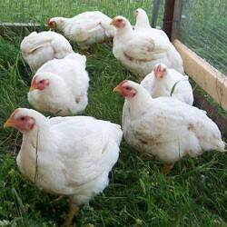 продам мясо кур (бролер)