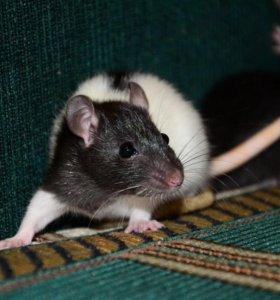 Красивые крысята