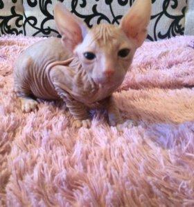 Продам котёнка сфинкс (мальчик)