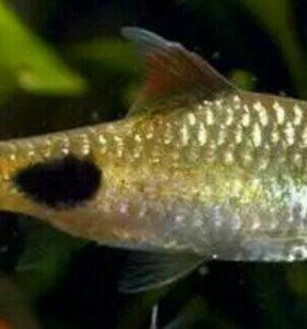 Барбусы (2 рыбки)