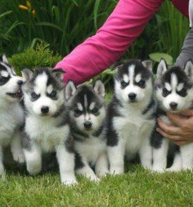 Красивые щенки хаски. Документы РКФ