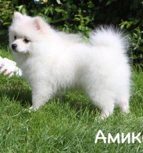 Шпиц малый девочка Амиколь
