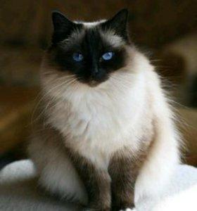 Котята Бирманята