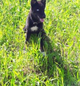 Разноглазый щенок микс хаски-овчарка в добрые руки