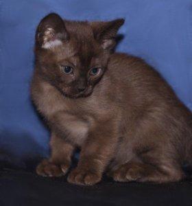 Соболиные бурманские котята