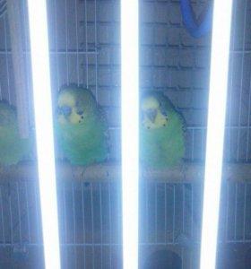 Продам попугаев(пара )с клеткой и домиком