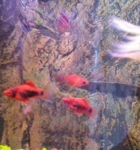 Продам рыбок