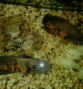 Рыбки астранотус