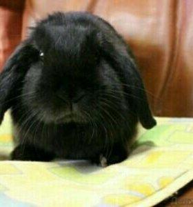 Кролик вислоухий, девочка