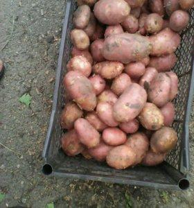 Картошка розовая