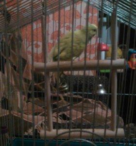 Молодой попугай