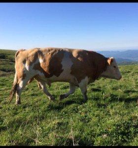 Коровы на мясо бык