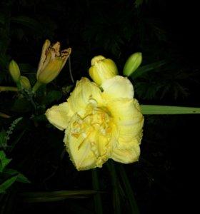 Лилейник  махровый д 14 см.Новинка.Цветы в сад.