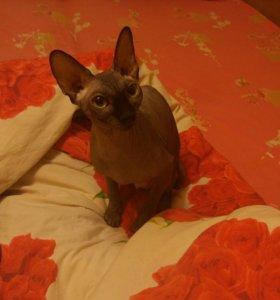 Канадский сфинкс кошка.1год 6 мес.торг
