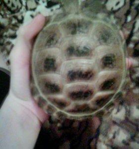 ( воз ) сухопутную черепаху,
