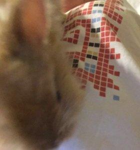 Кролик ( лисий рыжий)