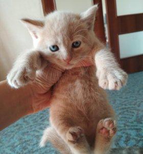 Котята шотландской прямоухой