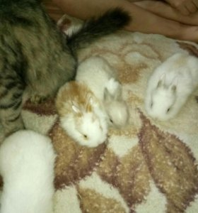 Карлековые кролики