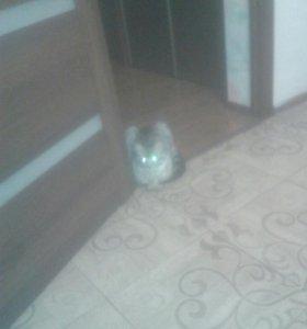 Кот мейн-кун.