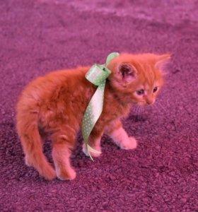 Котята от персидской породистой кошки