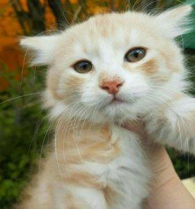 Отдам в добрые руки рыжего котёнка, 2 мес.,
