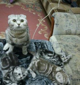 Котята шотландцы