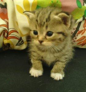 Продаю шотланских котят по цене можно договорится